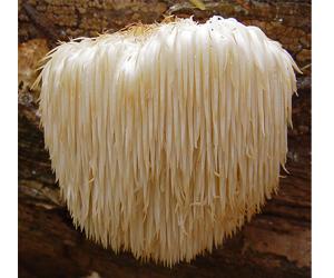lions's mane mushroom